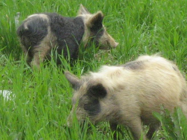Happy little piglets