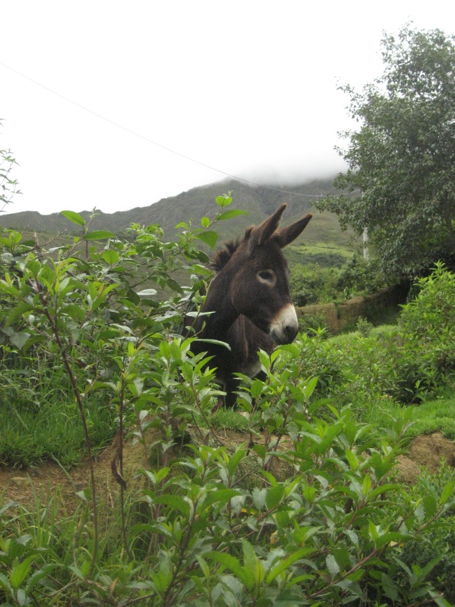 Donkey grazing in the filed